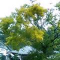 Kamakura-Mimoza1