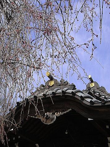 Sakura_yanaka_1