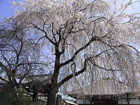 Sakura_yanaka_2
