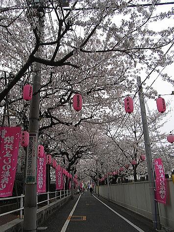 Sakura_somei_1