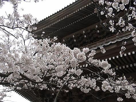 Sakura_kamakura_1
