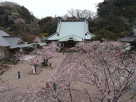 Sakura_kamakura_2