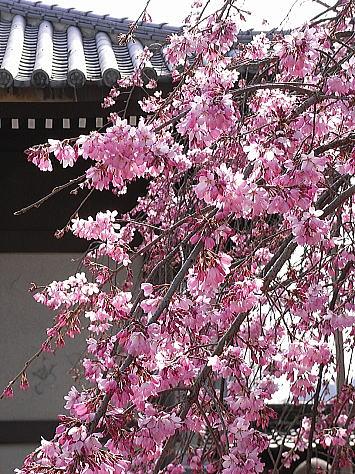 0322_onomichisakura