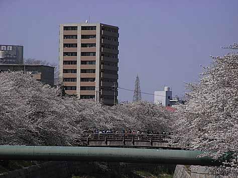 2012_04_08_sakura_2